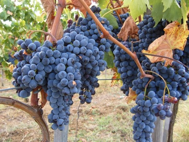 Tuscan Sangiovese grapes